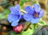 43_Lungenkraut_Pulmonaria officinalis